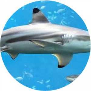 Ulei din ficat de rechin